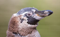 Humboldt penguin, young one royalty free stock images
