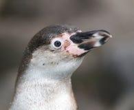 Humboldt penguine - Spheniscus humboldti Stock Image