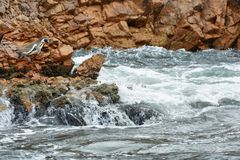 Humboldt Penguins στο Περού Στοκ φωτογραφία με δικαίωμα ελεύθερης χρήσης