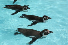 Humboldt Penguins. Squadron of swimming Humboldt Penguins (Spheniscus humboldti Royalty Free Stock Photo