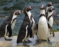 Humboldt penguins Στοκ Φωτογραφία