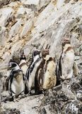 Humboldt penguins on Ballestas Islands in Peru Stock Images