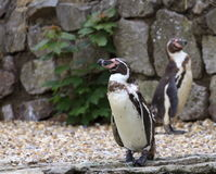 Humboldt Penguins Royalty Free Stock Images