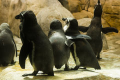 Humboldt penguins Stock Photography