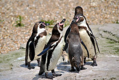 Humboldt Penguins Stock Images