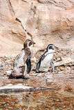 Humboldt penguins  in a marineland Royalty Free Stock Images