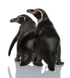 Humboldt Penguins, Spheniscus humboldti Royalty Free Stock Photo