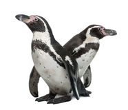 Humboldt Penguins, Spheniscus humboldti Royalty Free Stock Photography