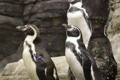 Humboldt penguins ή Spheniscus Humboldti Στοκ Φωτογραφίες