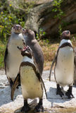 Humboldt penguins (Spheniscus humboldti) Royalty Free Stock Photo