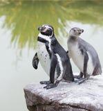 Humboldt penguins Stock Photography