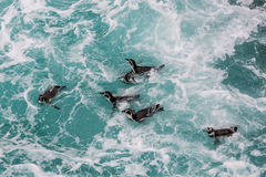 Humboldt penguins swimming peruvian coast at Ica Peru Royalty Free Stock Photography