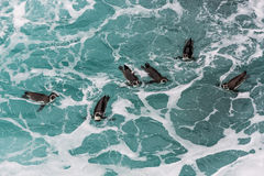 Humboldt penguins swimming in the peruvian coast at Ica Peru Royalty Free Stock Photo