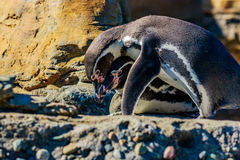 Humboldt Penguins. Two Humboldt Penguins accompany each other on the rock Royalty Free Stock Photography