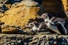 Humboldt Penguins. Two Humboldt Penguins accompany each other on the rock royalty free stock images