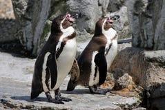 Humboldt Penguins. Two Humboldt Penguins Latin name Spheniscus humbolti Royalty Free Stock Photo