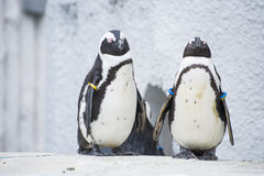 Humboldt penguins at zoo Stock Photography