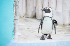 Humboldt penguins at zoo Royalty Free Stock Image