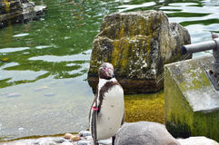 Penquin Humboldt  standing by pool Royalty Free Stock Photo