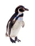 Humboldt-Pinguin über Weiß stockbilder