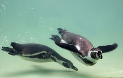Humboldt Pinguin Lizenzfreies Stockfoto