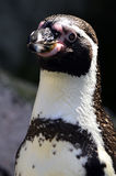 Humboldt-Pinguin stockbilder