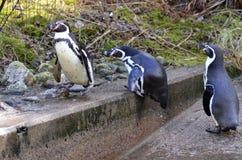 Humboldt-Pinguin lizenzfreie stockfotografie