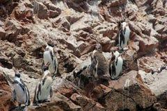 Humboldt Pinguin Royalty-vrije Stock Afbeeldingen
