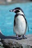 Humboldt Pinguin stockfoto