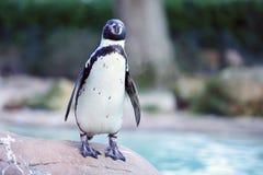 Humboldt Pinguin lizenzfreie stockfotos