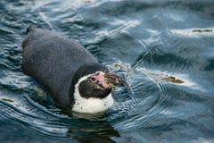 Humboldt Pinguin lizenzfreies stockbild