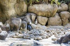 Humboldt Pinguin stockbild