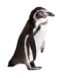 Humboldt-Pinguin auf weißem Hintergrund lizenzfreie stockbilder