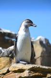 Humboldt Pinguin, der auf einem Felsen steht lizenzfreies stockbild