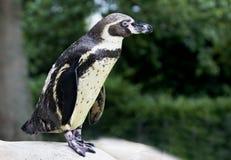 Humboldt Pinguin, der auf einem Felsen steht Stockbild