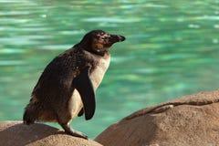 Humboldt Pinguin, der auf Felsen steht lizenzfreies stockfoto