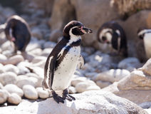 Humboldt-Pinguin, der auf Steinen steht lizenzfreies stockbild