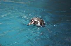 Humboldt-Pinguin, der nach vorn Überwasser schwimmt und schaut lizenzfreie stockbilder