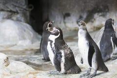 Humboldt-Pinguin in einer Höhle auf dem felsigen Ufer des Nationalparks Paracas in der Ica-Region, Peru lizenzfreie stockbilder