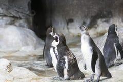 Humboldt-Pinguin in einer Höhle auf dem felsigen Ufer des Nationalparks Paracas in der Ica-Region, Peru stockfoto