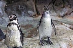 Humboldt-Pinguin in einer Höhle auf dem felsigen Ufer des Nationalparks Paracas in der Ica-Region, Peru lizenzfreies stockfoto