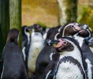 Humboldt-Pinguin im Abschluss oben mit einer großen Kolonie von Pinguinen im Hintergrund, bedrohter Vogel mit verletzbarem Status stockfotos