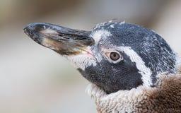 Humboldt-Pinguin, Junge eine stockfoto