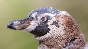 Humboldt-Pinguin, Junge eine lizenzfreie stockfotografie