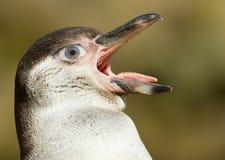 Humboldt-Pinguin mit einem menschlichen Auge Lizenzfreie Stockbilder