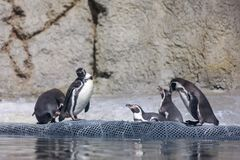 Humboldt-Pinguin an Oregon-Zoo lizenzfreies stockfoto