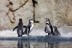 Humboldt-Pinguin an Oregon-Zoo lizenzfreies stockbild