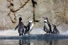 Humboldt-Pinguin an Oregon-Zoo stockbild