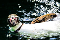 Humboldt pinguin Royalty Free Stock Images