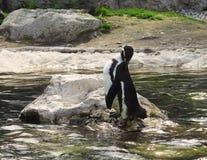 Humboldt-Pinguin putzt sich Stockfotografie